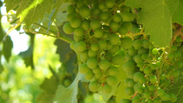 toboni-vineyards-grapes1