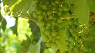 toboni-vineyards-grapes1